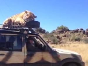 while-cheetah-picks-xuv500-tiger-roars-for-scorpio