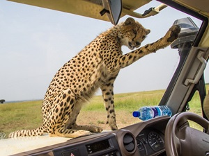 cheetah-land-cruiser-safari-northern-serengeti