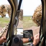 cheetah-land-cruiser-safari-northern-serengeti-001