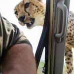 cheetah-land-cruiser-safari-northern-serengeti-002