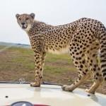 cheetah-land-cruiser-safari-northern-serengeti-004