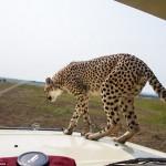 cheetah-land-cruiser-safari-northern-serengeti-005