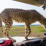 cheetah-land-cruiser-safari-northern-serengeti-006