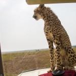 cheetah-land-cruiser-safari-northern-serengeti-007