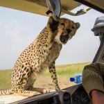 cheetah-land-cruiser-safari-northern-serengeti-008