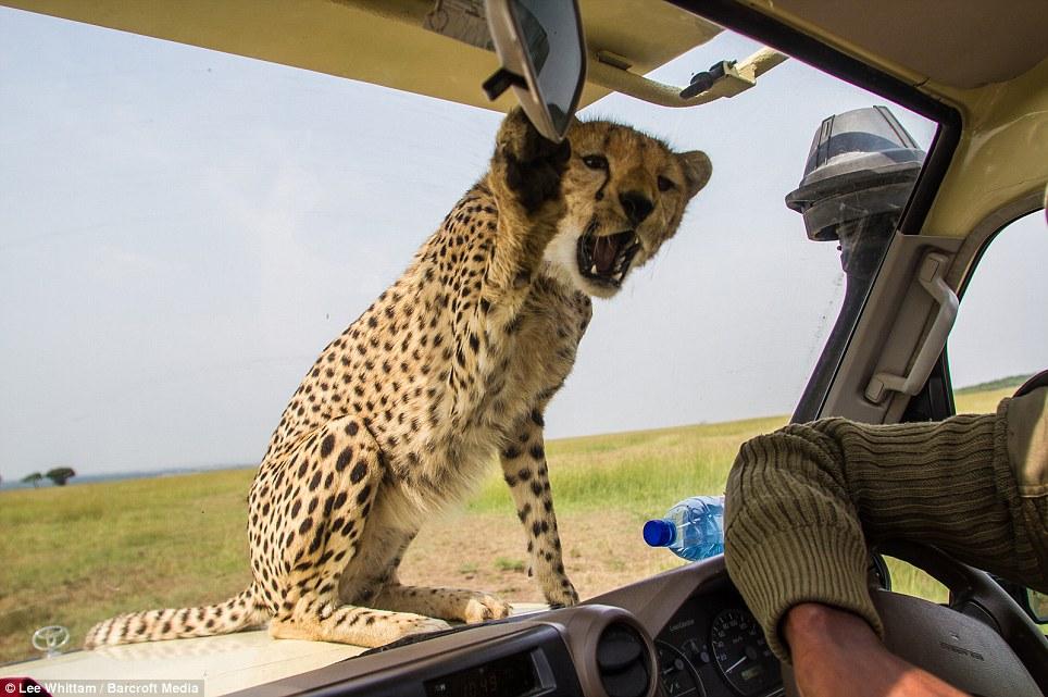 Cheetah Comes Aboard A Land Cruiser On A Safari To