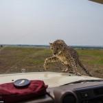 cheetah-land-cruiser-safari-northern-serengeti-009
