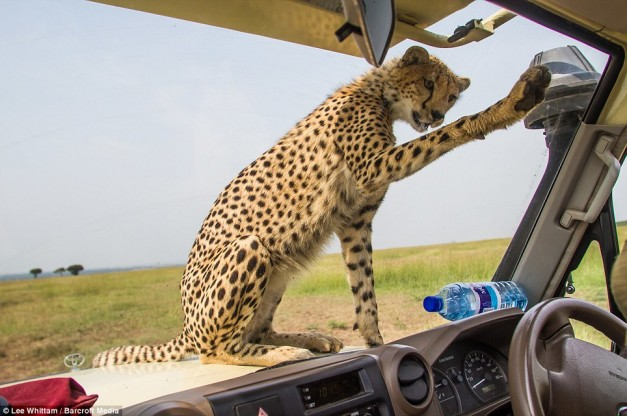 cheetah-land-cruiser-safari-northern-serengeti-poncing