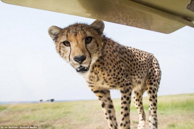 cheetah-land-cruiser-safari-northern-serengeti-windshield
