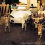 donkey-better-jaguar-xf-india-001